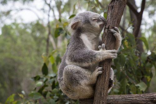 australia,Brisbane,eukaliptas,koala