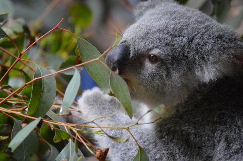 australia zoo koala cute