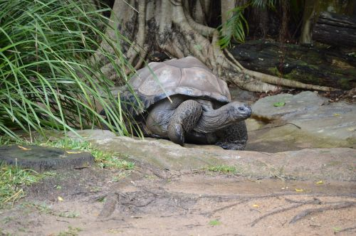 australia zoo giant tortoise wildlife