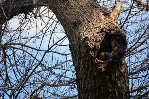 Australian Colourful Bird