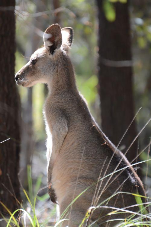 australian kangaroo animal wildlife