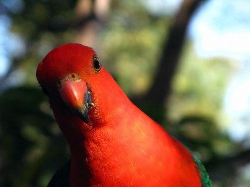 australian king-parrot zoo male parrot