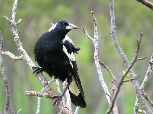 australian magpie south australia magpie