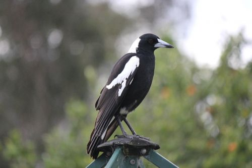australian magpie bird nature