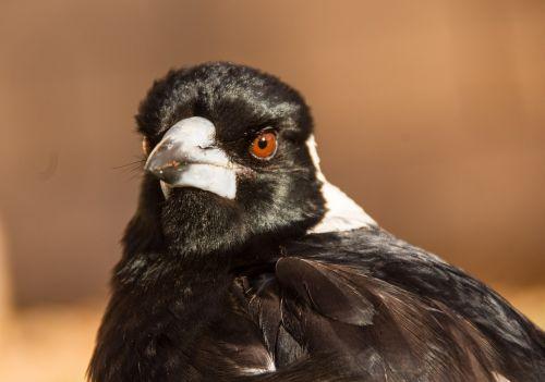 australian magpie magpie bird