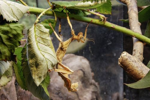 australian phasmid insect close