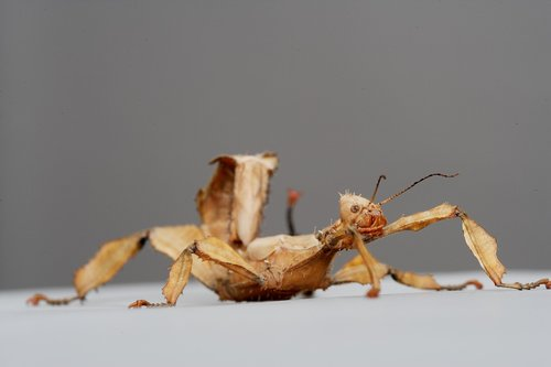 australian stick insect  insects  nature