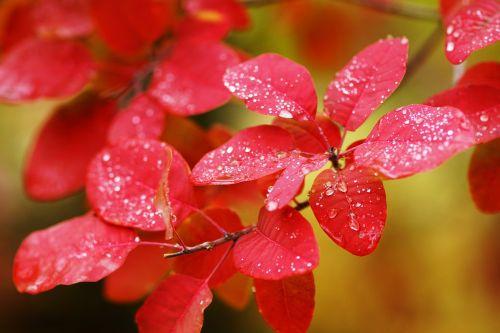 autumn labrador tea red leaf