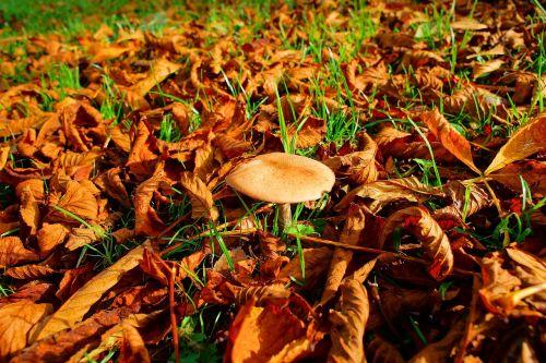 autumn leaves mushroom