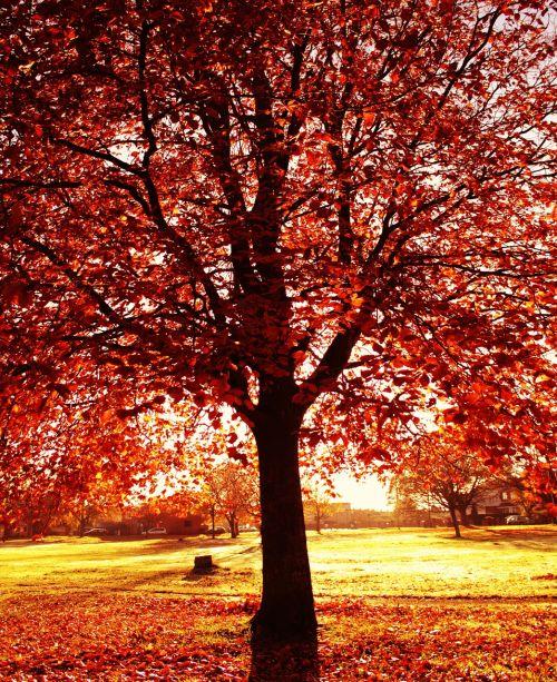 autumn tree orange
