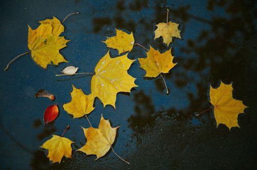 autumn leaves yellow