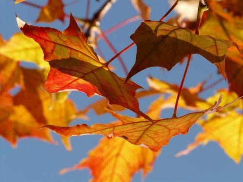 autumn leaf leaves