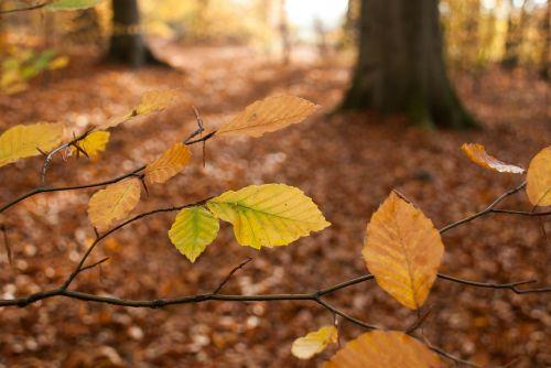 autumn leaves beech