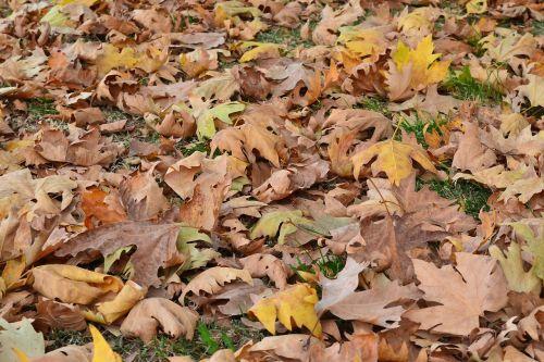 ruduo,lapai,sausas lapai,geltona,lapai yra