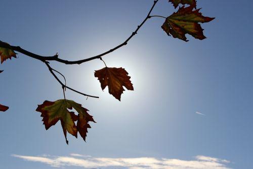 ruduo,lapai,saulė,lapai,gamta,kritimas,rudens lapai,raudona,medis,sezonas,spalva,kritimo lapai,klevo lapas,klevas,sezoninis,botanika,flora,spalvinga,miškas,lapija,filialas,oranžinė,geltona