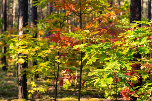 autumn foliage red