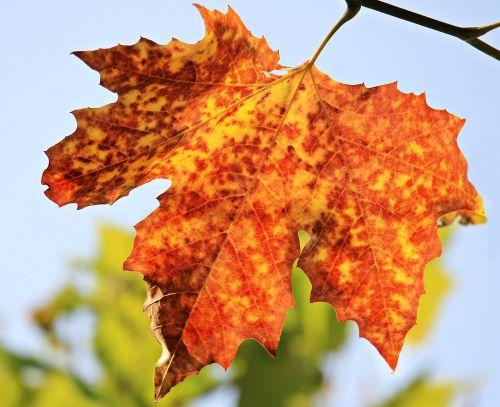 autumn autumn leaf leaves
