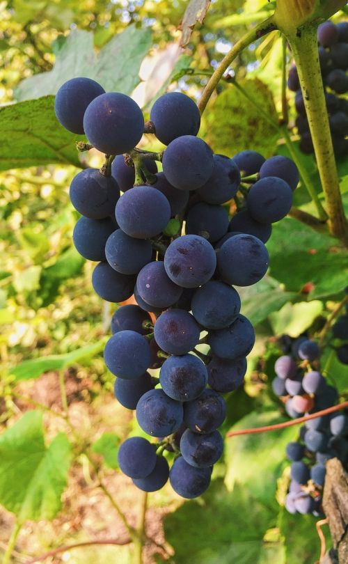autumn grapes bunch of grapes