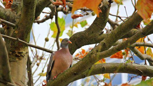 autumn tree chestnut tree