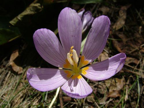autumn flower herbstzeitlose