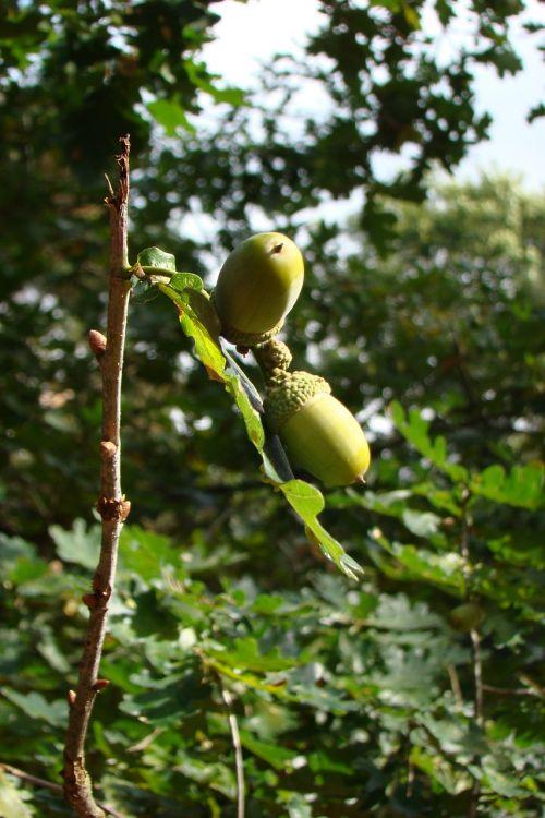 autumn acorns forest