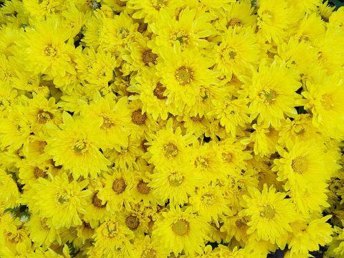 autumn chrysanthemum small yellow flowers