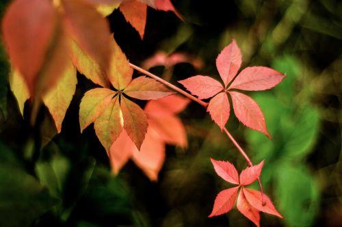 autumn parthenocissus colorful leaves
