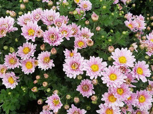 ruduo,chrizantema,gėlės,wildflower,asteraceae,kritimo gėlės,gėlių tapetai,rožinė gėlė