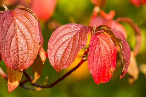 autumn leaves red
