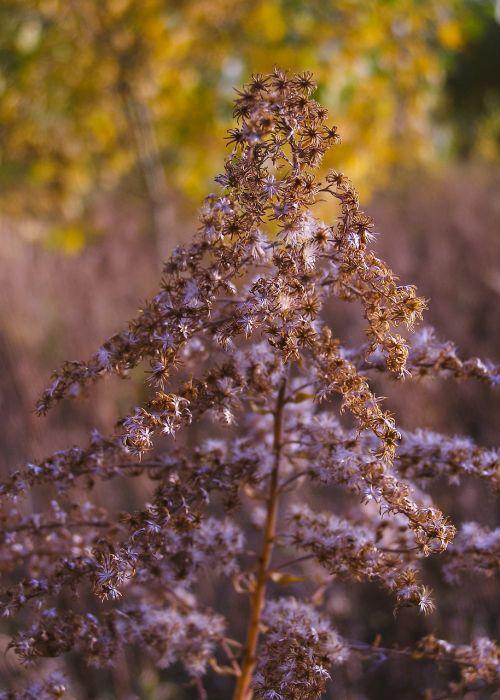 autumn solidago canadensis dry plant