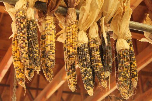 autumn indian corn corn