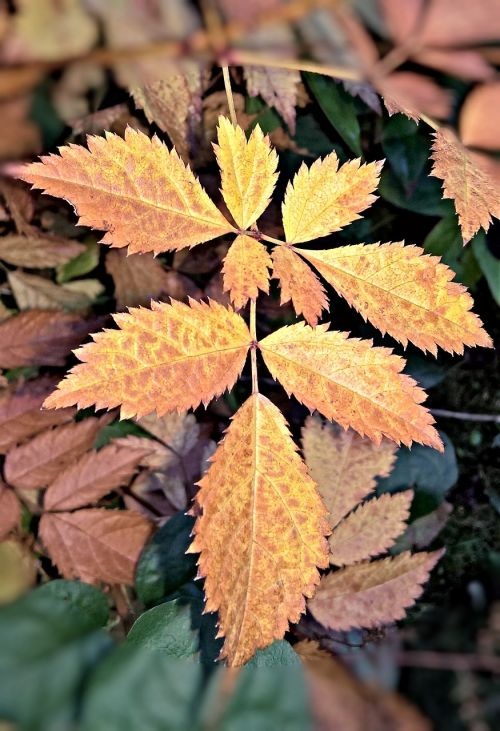 autumn leaf of spireastrauches brown coloring