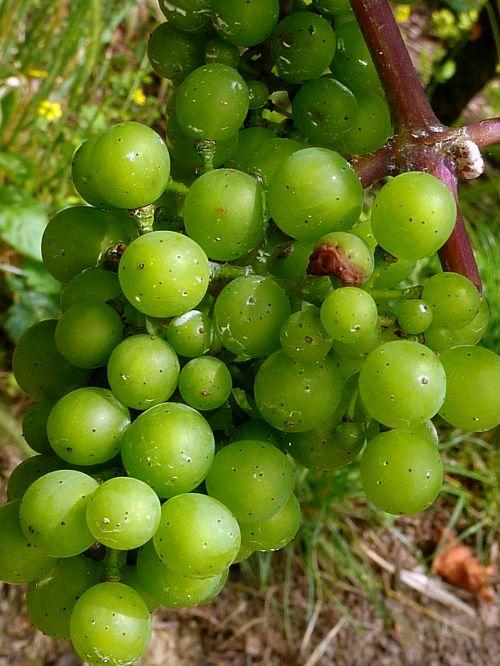 autumn grapes grape harvest