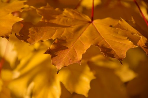 autumn fall foliage yellow