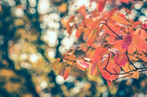 ruduo,lapai,kritimas,raudona,lapai,gamta,rudens lapai,sezonas,medis,spalva,Spalio mėn,geltona,aplinka,kritimo lapai,september,oranžinė,spalvinga,lapkritis,lapija,lauke,ruda,auksinis,parkas