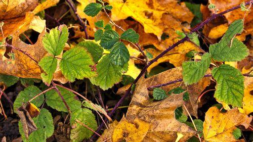 autumn blackberry leaves