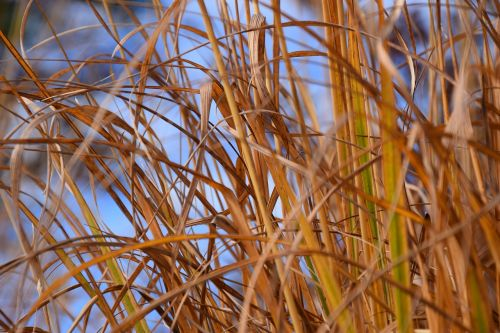 autumn grass grasses