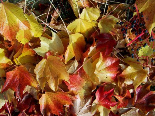 autumn fallen colored leaves virginia creeper leaves