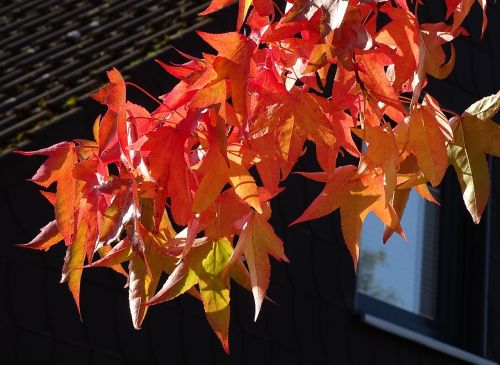 autumn red leaves discoloration