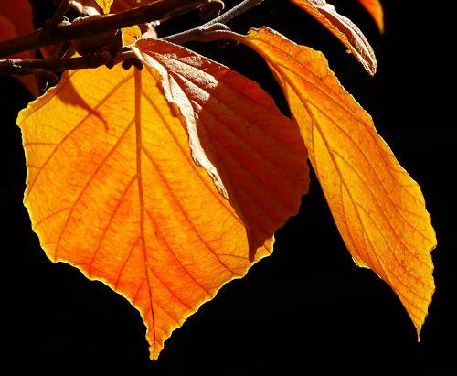 autumn discoloration leaves