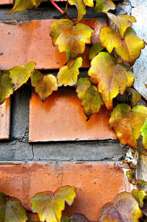 autumn fall hedera helix
