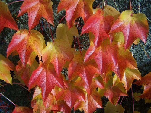 autumn virginia creeper leaves autumn colors