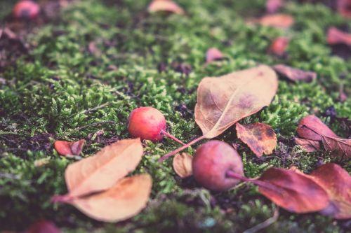 autumn apple fruit