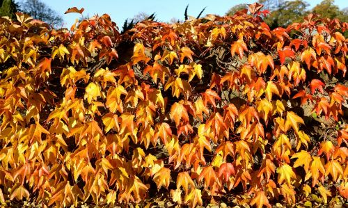 autumn golden autumn leaf