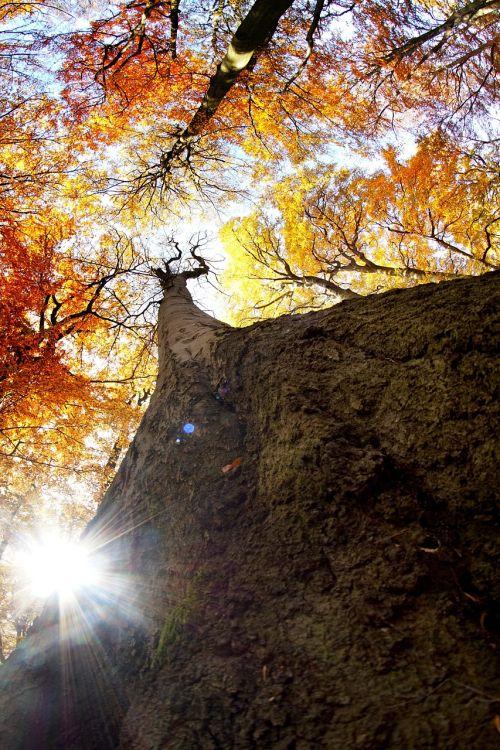 autumn beech sun