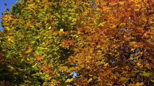 autumn deciduous trees fall colors