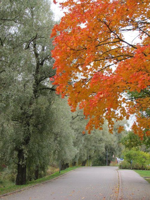 autumn maple red