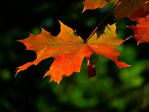autumn leaf colorful