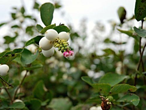 autumn fruits brulinky