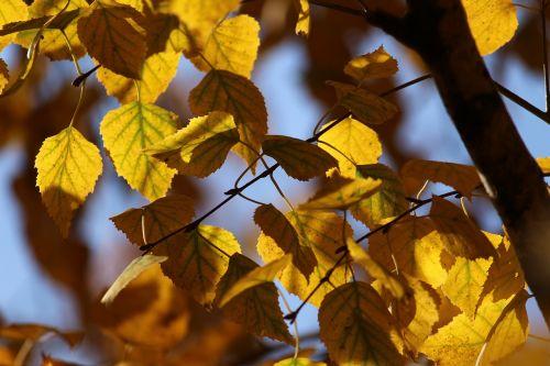 autumn leaves birch